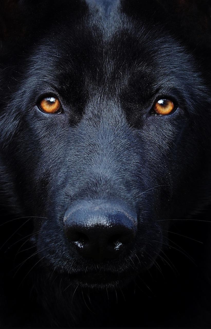 black-german-shepherd-2998670_1280_pixabay
