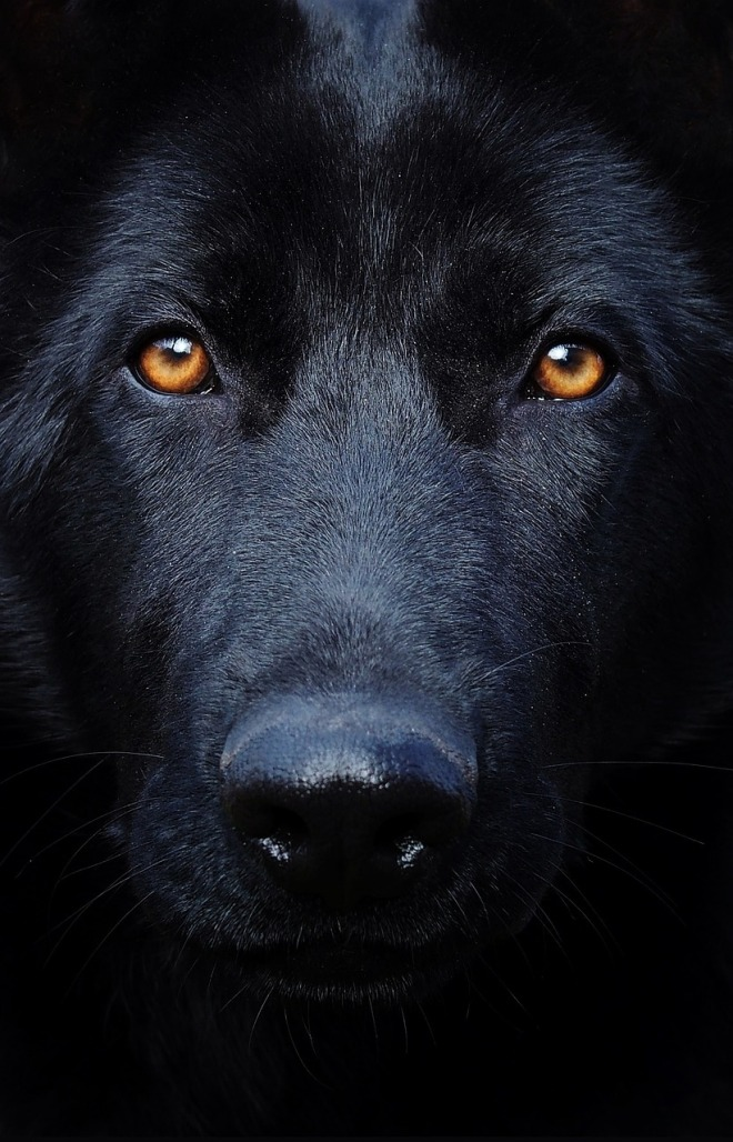 black-german-shepherd-2998670_1280_pixabay